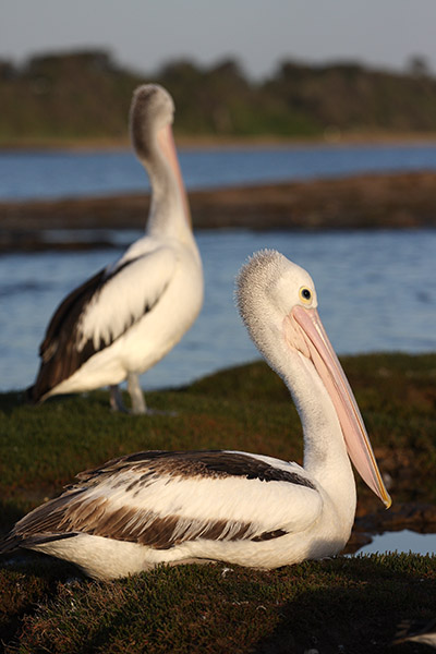 Pelicans - Ricketts Point - Beaumaris - beach - Jim Worrall