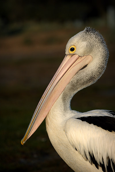 Pelican - Ricketts Point - Beaumaris - beach - Jim Worrall