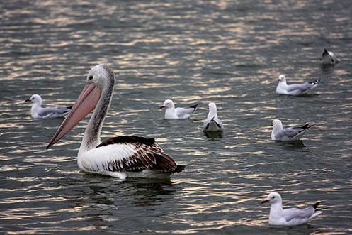 Warneet - pelican - Jim Worrall