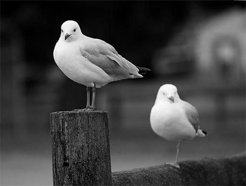 Warneet - gulls - Jim Worrall