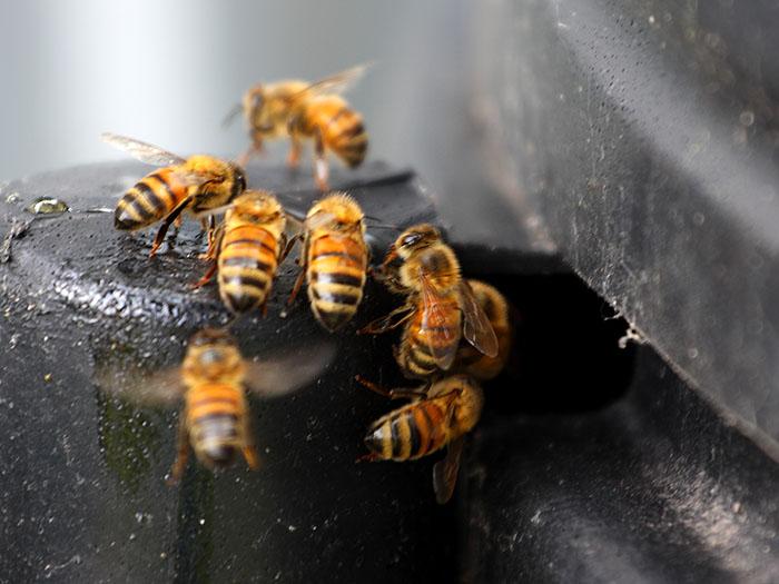 Spring - bees - jim worrall - australia