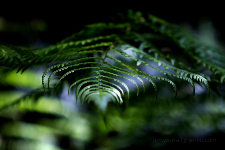Ferns in dappled sunlight - Olinda- Jim Worrall - Dandenong Ranges - Australia