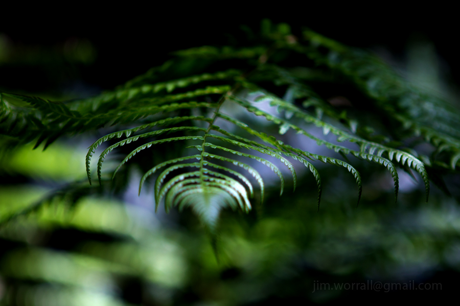 Ferns in dappled sunlight - Olinda- Jim Worrall - Dandenong Ranges - Australia