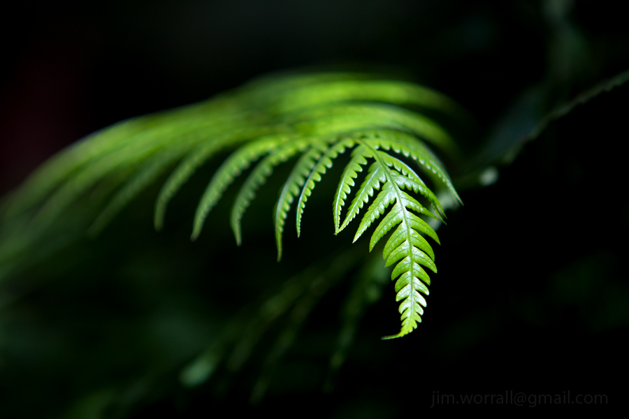 Olinda fern - dappled sunlight - Jim Worrall - Dandenong Ranges - Australia
