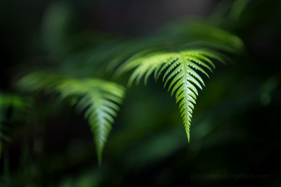 Olinda ferns - Jim Worrall - Dandenong Ranges - Australia