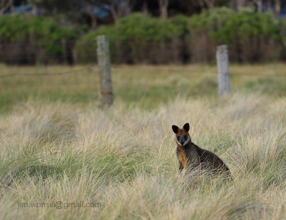 Jim Worrall wallaby Phillip Island Australia